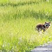 Raccoon In Green Field Poster
