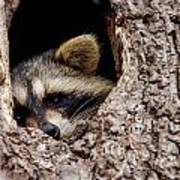 Raccoon In Tree Poster