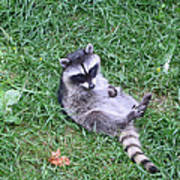Raccoon Plays In The Grass Poster