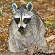 Raccoon Procyon Lotor Adult Foraging Poster