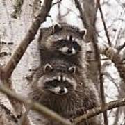 Raccoon Siblings Poster