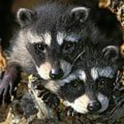 Raccoon Young Procyon Lotor In Tree Poster