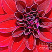 Radiant In Red - Dahlia Poster