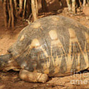 radiated tortoise from Madagascar Poster