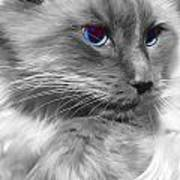 Ragdoll In Black And White Poster