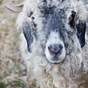 Raggedy Goat Poster