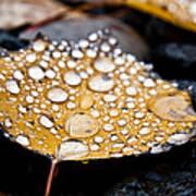 Rain Drops On Autumn Birch Leaf Poster