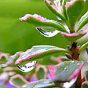 Raindrops On Sedum Poster