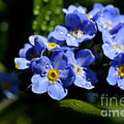 Rain On Forget-me-not Poster