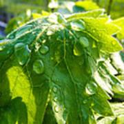 Rain Soaked Leaf Poster