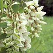 Rain-spangled Locust Flowers Poster