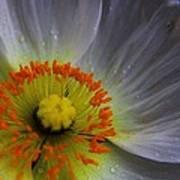 Rain Sprinkled White Poppy Poster