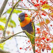 Rainbow Lorikeet In Flame Tree Poster