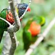 Rainbow Lorikeet Parrot Trichoglossus Haematodus Poster