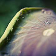 Raindrops On A Lotus Leaf Poster by Priya Ghose