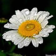 Raindrops On Daisy Poster