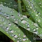 Raindrops On Daylily Leaves Poster