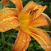 Raindrops On Golden Lily Poster