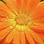Raindrops On Orange Daisy Flower Poster