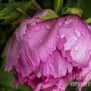 Raindrops On Peony Poster