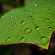 Raindrops On Plumeria Leaf Poster