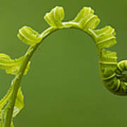 Rainforest Fern Unfurling Sabah Borneo Poster