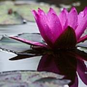 Rainy Day Water Lily Reflections 6 Poster
