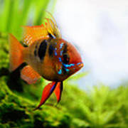 Ram Fish Poster
