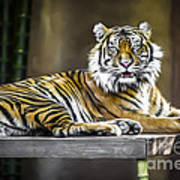 Ranu The Sumatran Tiger Poster by Shannon Rogers