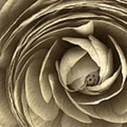 Ranunculus Poster by Cindy Rubin