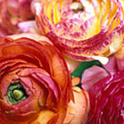 Ranunculus Close-up Poster