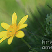 Ranunculus Ficaria - Yellow Buttercup Poster