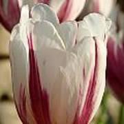 Raspberry Vanilla Tulip Poster