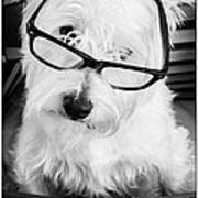 Really Portait Of A Westie Wearing Glasses Poster
