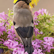 Rear View Of Female Bullfinch Standing Poster