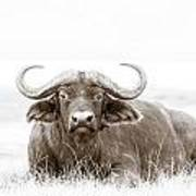Reclining Buffalo With Oxpecker Poster