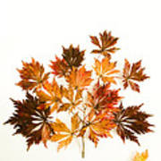 Reconstructed Full Moon Maple Poster