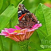 Red Admiral Butterfly And Zinnia Flower Poster