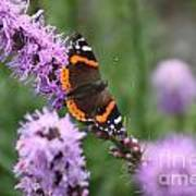Red Admiral Butterfly On A Blazing Star Poster