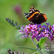 Red Admiral Butterfly On Butterfly Bush Poster