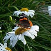 Red Admiral On A Daisy Poster