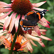 Red Admiral On Coneflower Poster