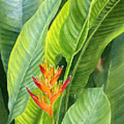 Red And Gold Heliconia Poster