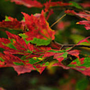 Red And Green Autumn Leaves Poster