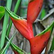 Red And Green Heliconia Poster