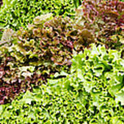 Red And Green Leaf Lettuce  Poster