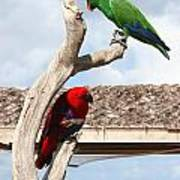 Red And Green Parrots Poster