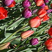 Red And Purple Tulips Poster