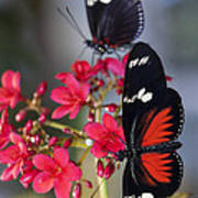 Red And White Longwing Butterflies  Poster