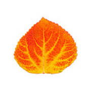 Red And Yellow Aspen Leaf 5 Poster